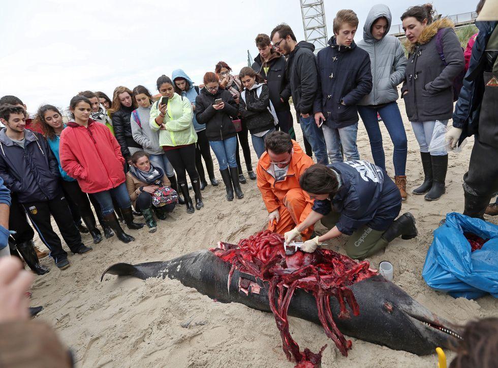 Presentando la foca «Camelle».Alumnos de la USC vieron cómo le realizaron la autopsia a un delfín varado en Aguiño.