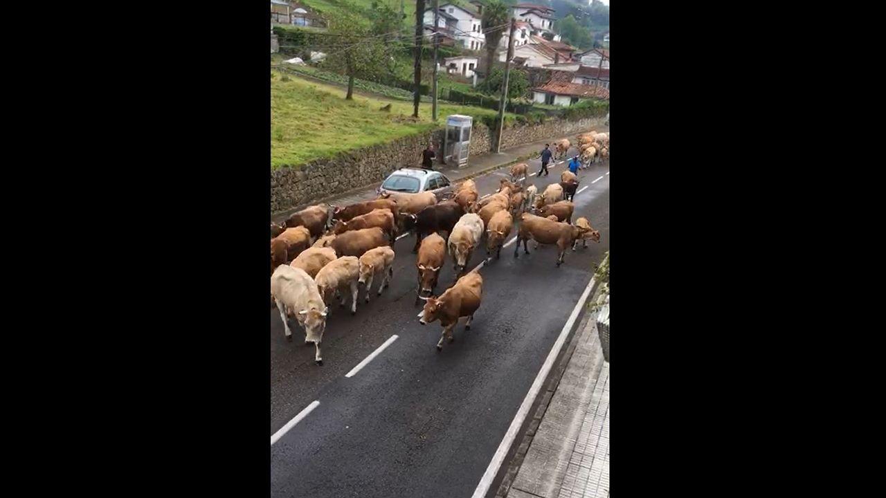 Así regresa el ganado a la montaña.Un castillete