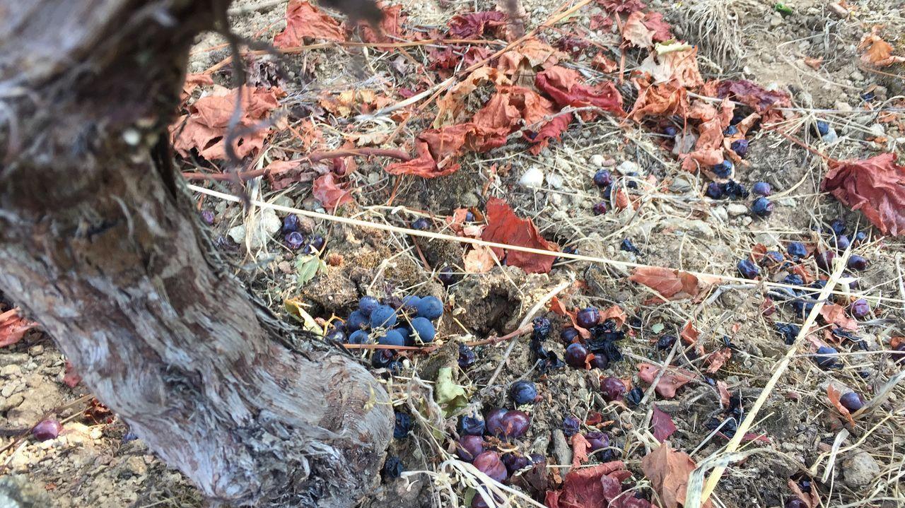 Vendimia para la bodega Algueira, una de las más marugadoras en Ribeira Sacra
