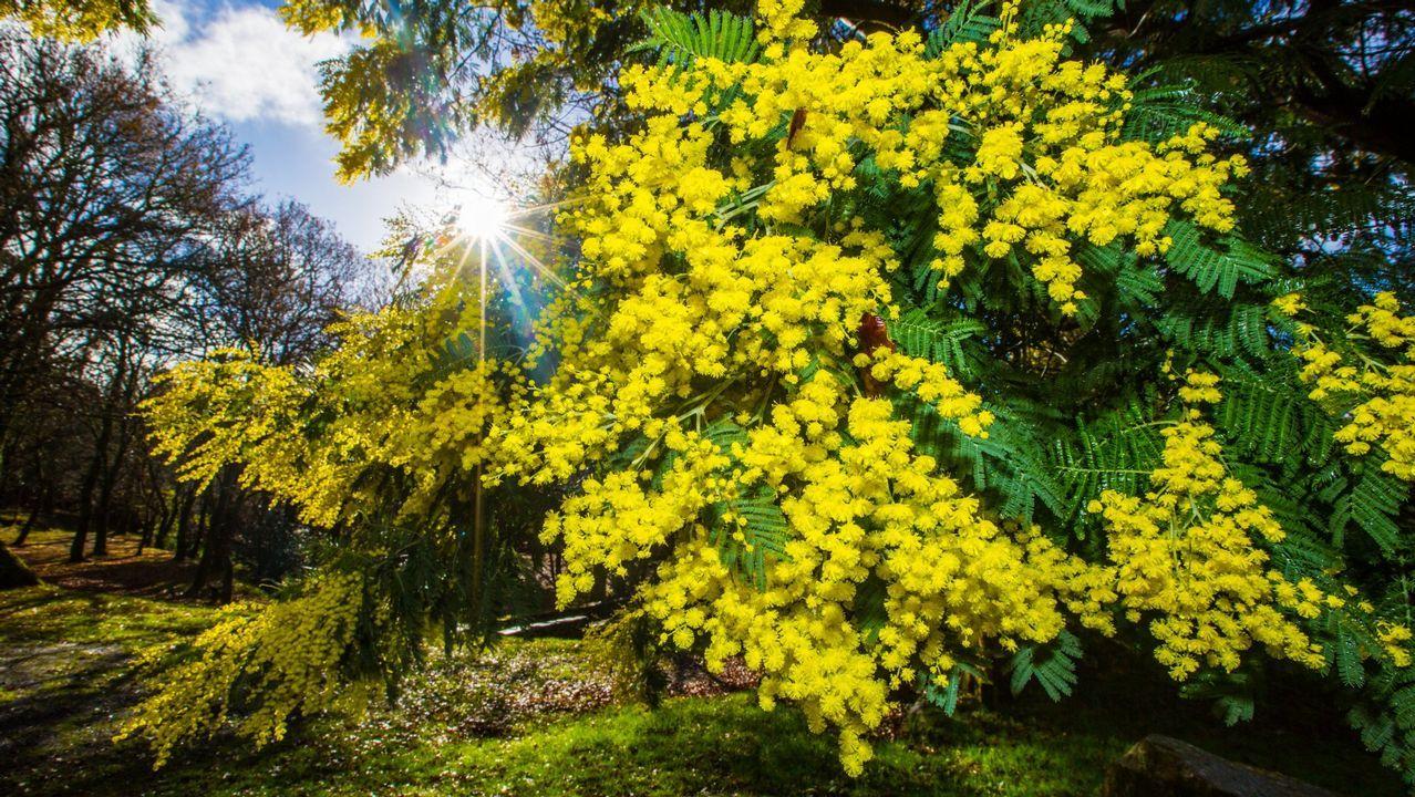 La acacia es una especie invasora originaria de Australia