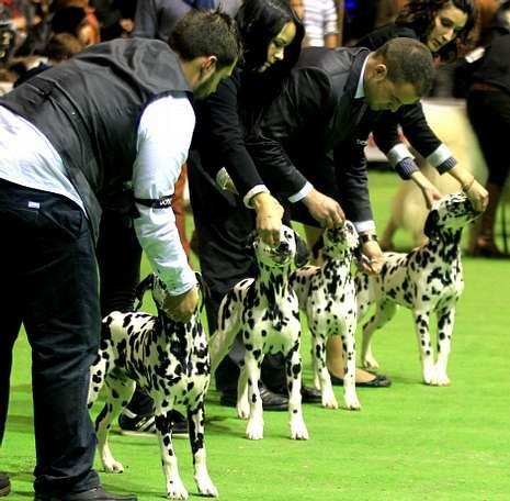 Los dueños acicalan a sus mascotas antes de salir a las pistas en las que los jueces dan su puntuación.