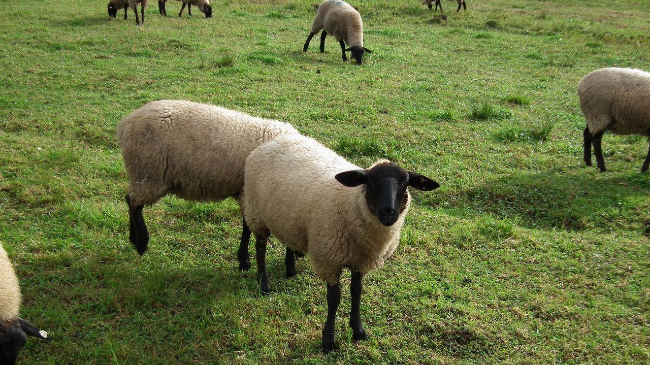 Un rebaño de ovejas suffolk pastando