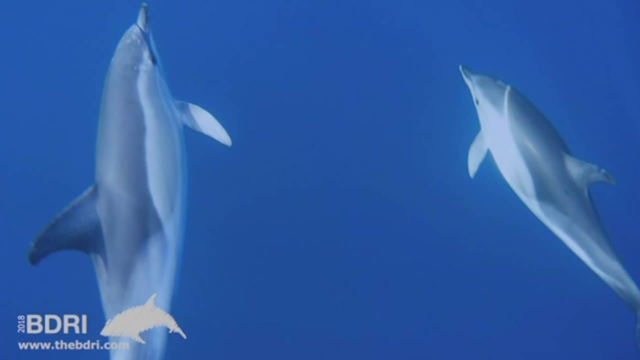 Un nuevo grupo de delfines visita Corrubedo