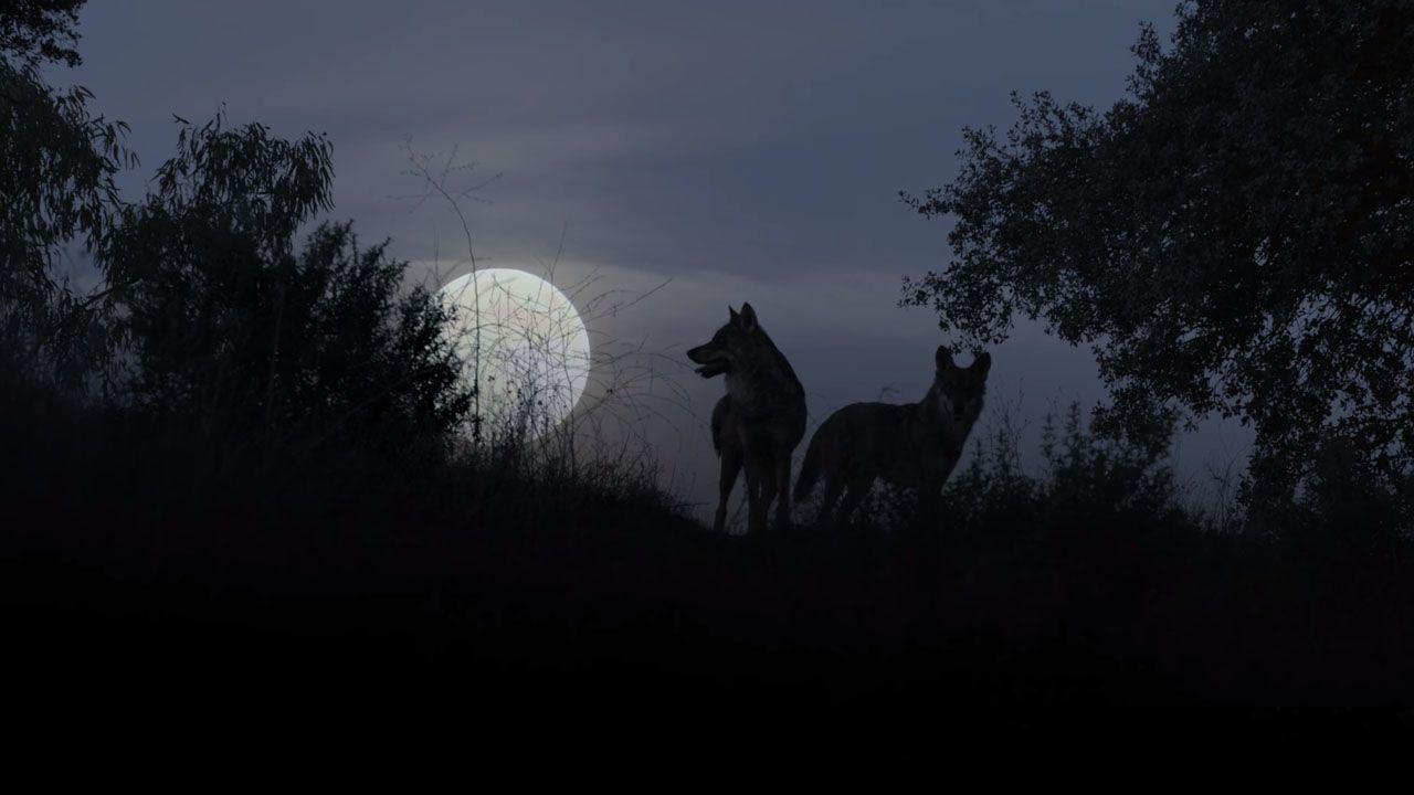 Barbacana, la huella del lobo.Especies amenazadas en Asturias