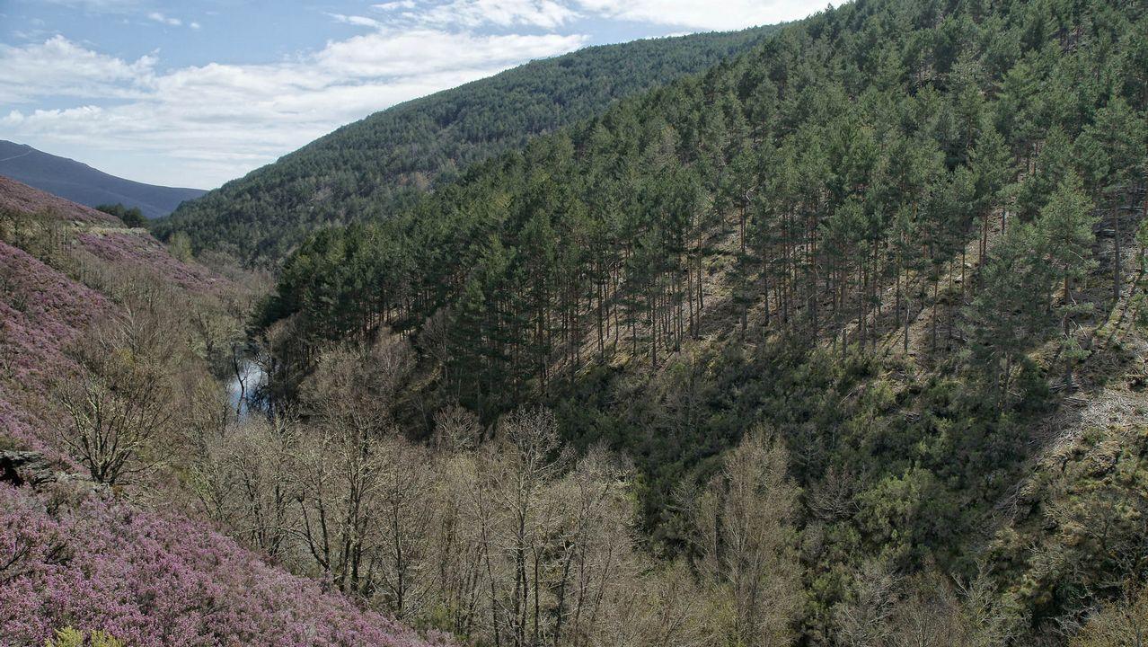 Gran parte del Camino de Santiago transcurre por Galicia entre bosques autóctonos, como este tramo de A Uceira