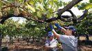 La cosecha de la uva en O Salnés