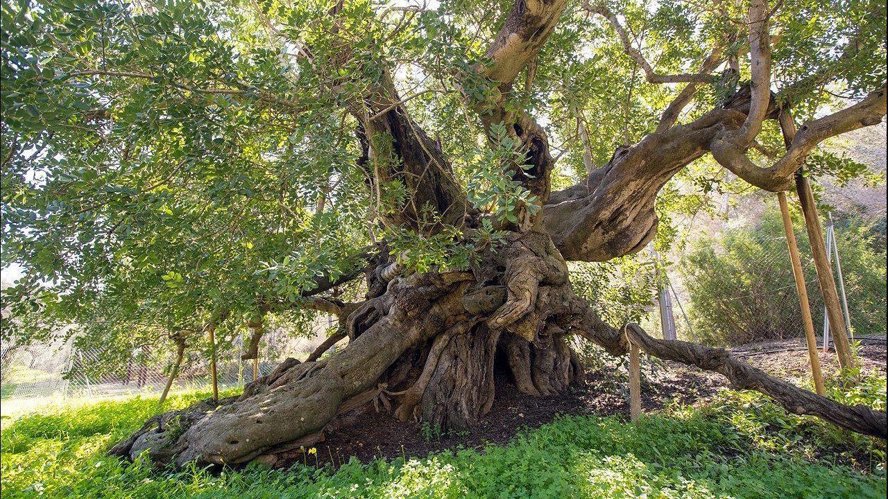 Algarrobo Foia Brell. Alfaz del Pi, Alicante. Tiene 800 años y fue elegido proque la especie tuvo una gran importancia cultural y económica y hoy está en vías e extinción