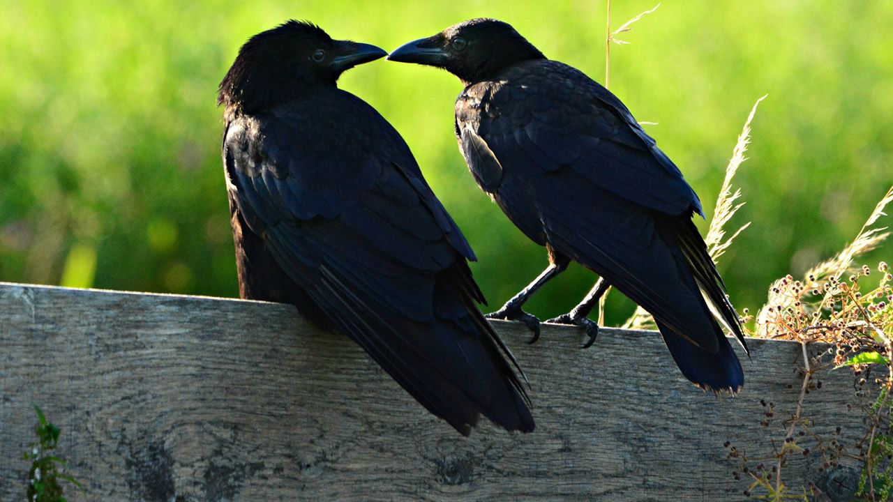Cuervos adiestrados para alimentarse de larvas de velutina