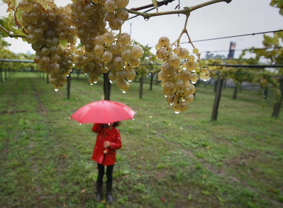 Las fuertes lluvias pueden causar daños en la uva que todavía está sin vendimiar.