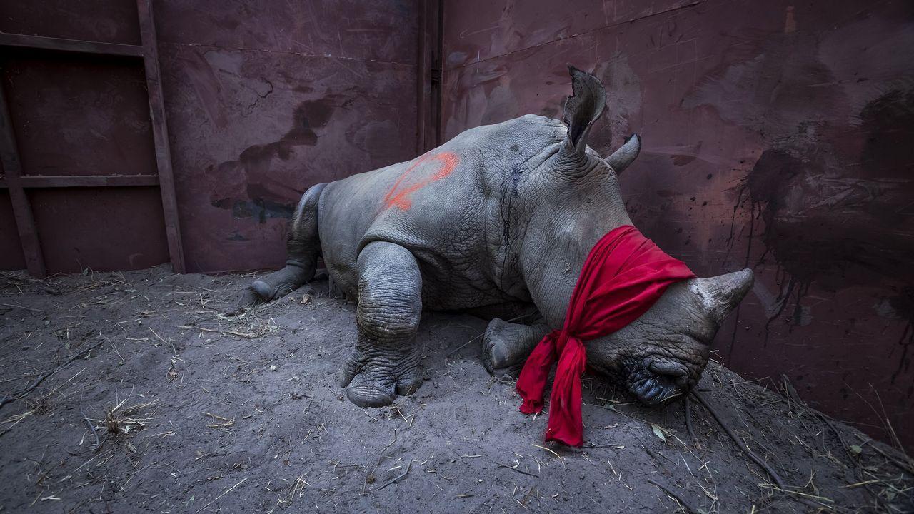 Fotografía cedida por la organización World Press Photo que muestra la imagen captada por el fotógrafo Neil Aldrige, ganador del primer premio de la categoría «Environment - Singles». La foto muestra a un joven rinoceronte blanco del sur, drogado y con los ojos vendados, a punto de ser liberado en la naturaleza en el delta del Okavango, Botsuana, el 21 de septiembre de 2017, después de su traslado desde Sudáfrica para protegerlo de los cazadores furtivos.