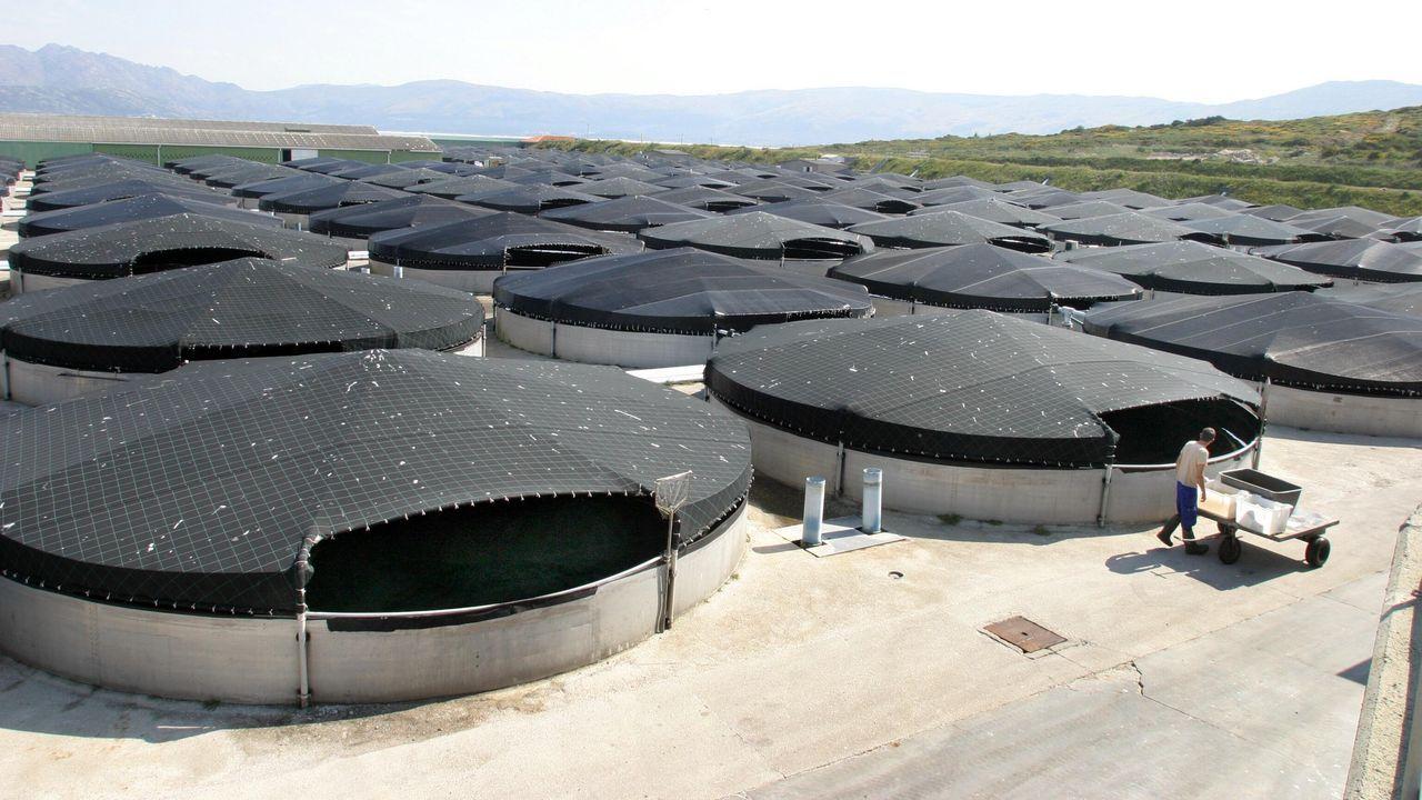 Rodaballos en la piscifactoría de San Cibrao, en A Mariña, en una imagen de archivo