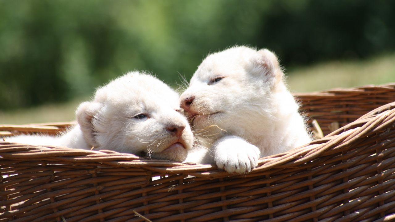 Dos cachorros de león blanco en Thuele (Alemania)