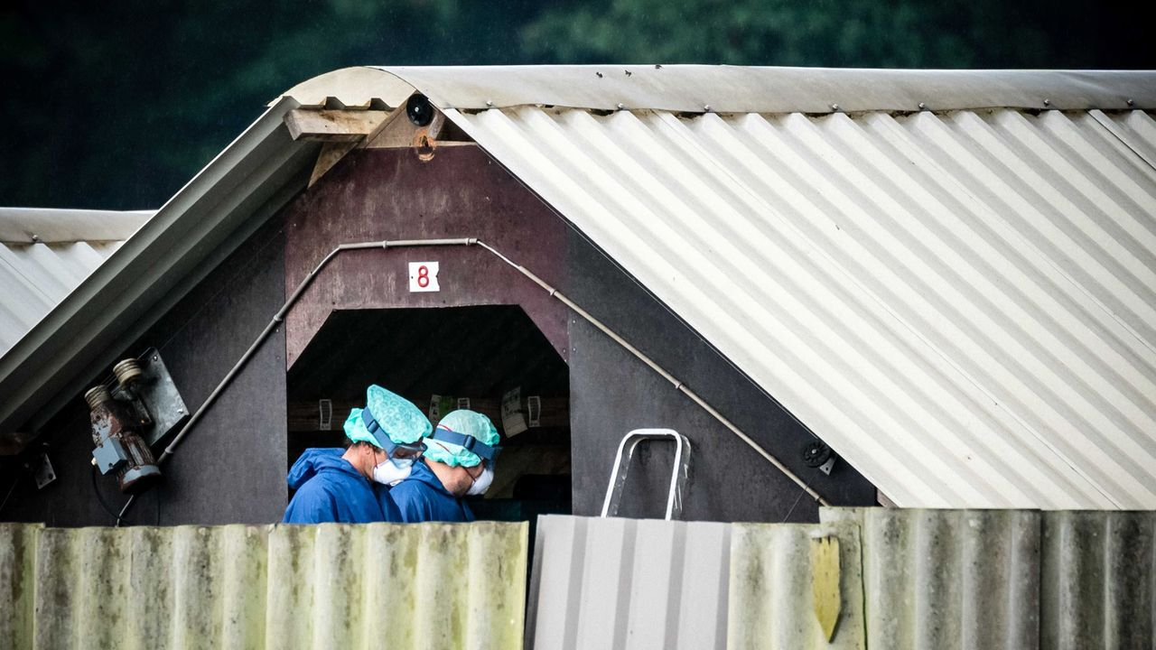 En Deurne, Holanda, operarios trabajan en una granja de visones. El Gobierno ha ordenado que todos los animales sean sacrificados debido al coronavirus
