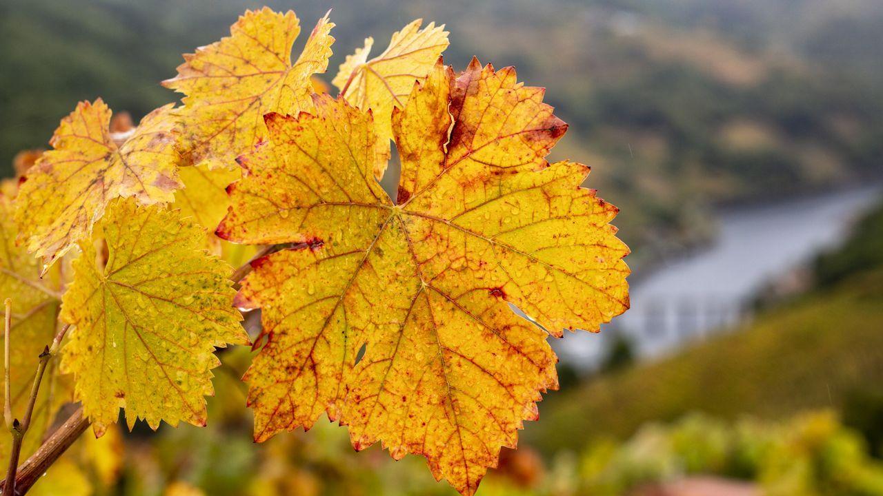 Colores de otoño en las viñas de A Ermida, en Chantada