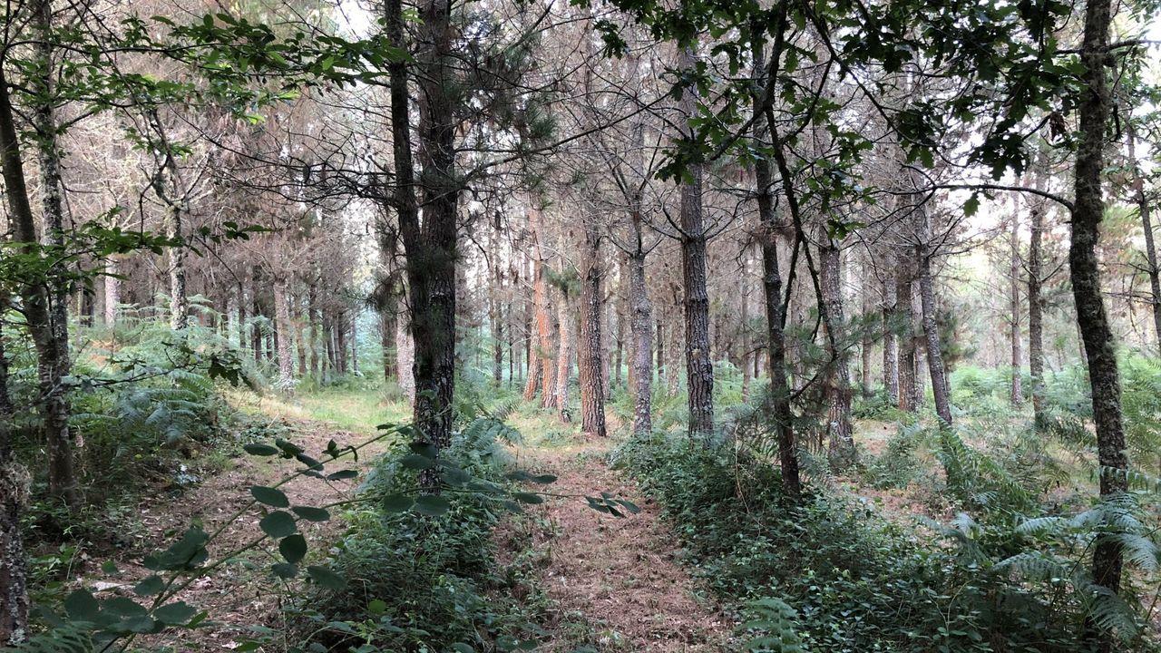 La USC proyecta la Cidade da Saúde frente al Hospital Clínico.Zona de pinos en el monte comunal de Lagostelle (Guitiriz)