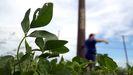 Imagen de una planta de soja en un campo de Norberto de la Riestra, en Argentina