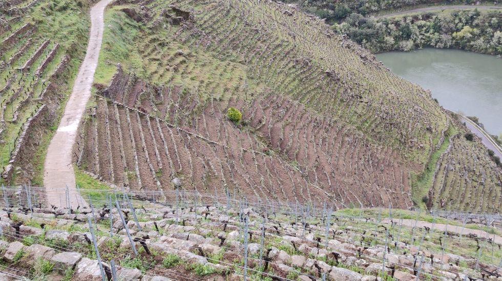 Chantada presume de vinos.Viñas de Algueira situadas en la ribera de Doade en las que se recuperó la cava tradicional