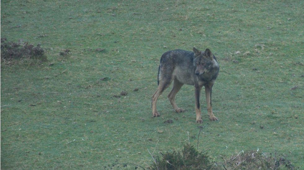 Ejemplar de lobo asturiano