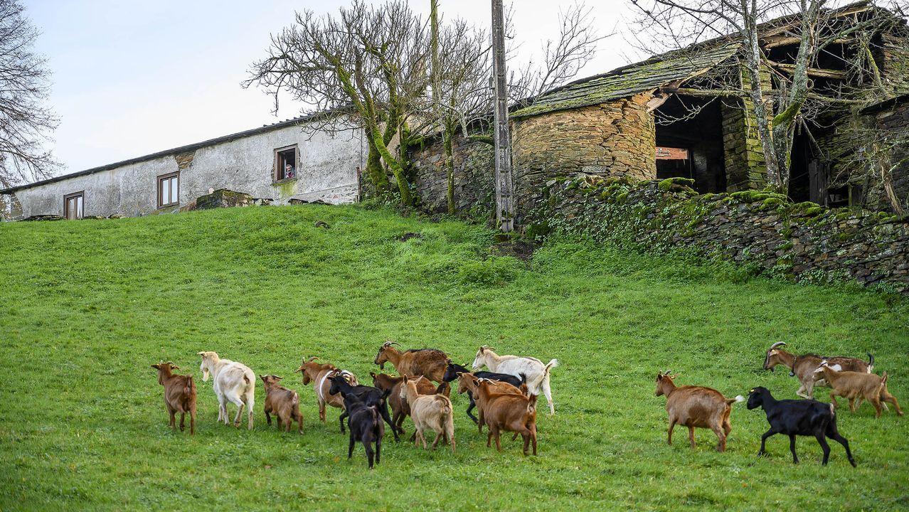 Un rebaño de cabras en un prado de la aldea