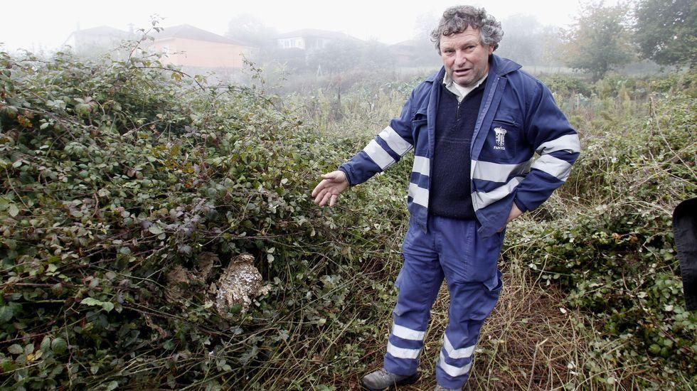 Un empleado municipal que se dedica a retirar nidos de velutina muestra los restos del que el viernes rompió el tractor del hombre que murió