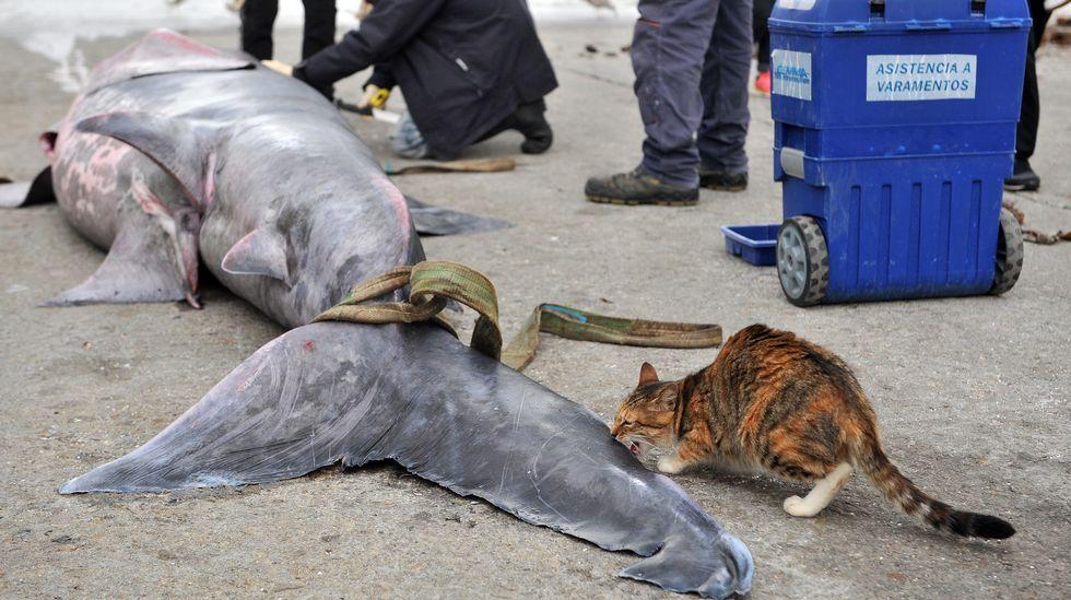 El tiburón de Ares desata una gran expectación.El Cemma ha rescatado delfines por toda la comunidad