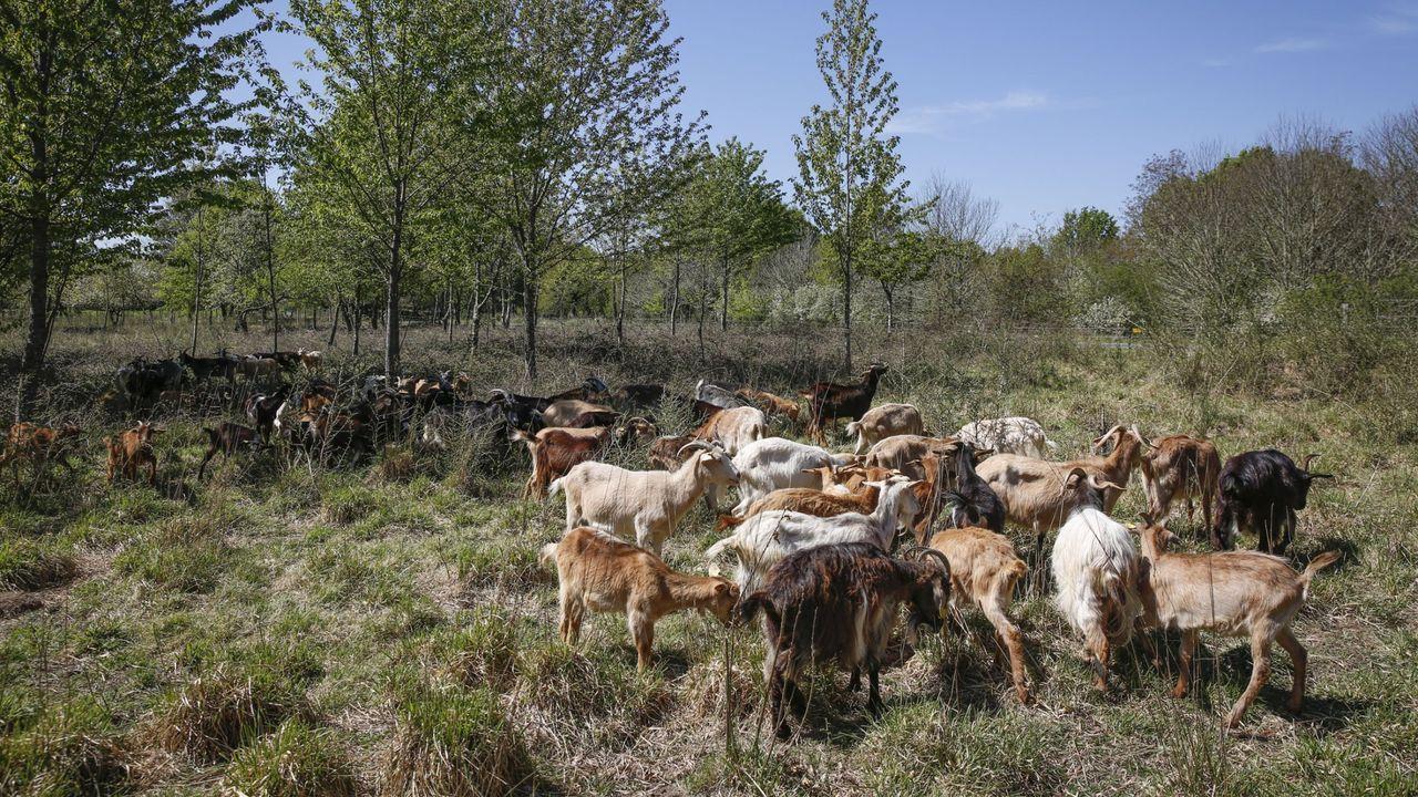 La actividad ganadera está muy presente en buena parte del municipio de Friol