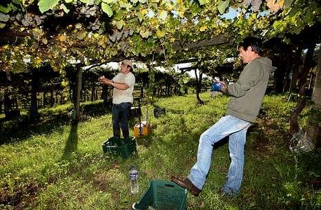 Los racimos deben ser bien revisados para que no lleguen a bodega con uvas en mal estado.