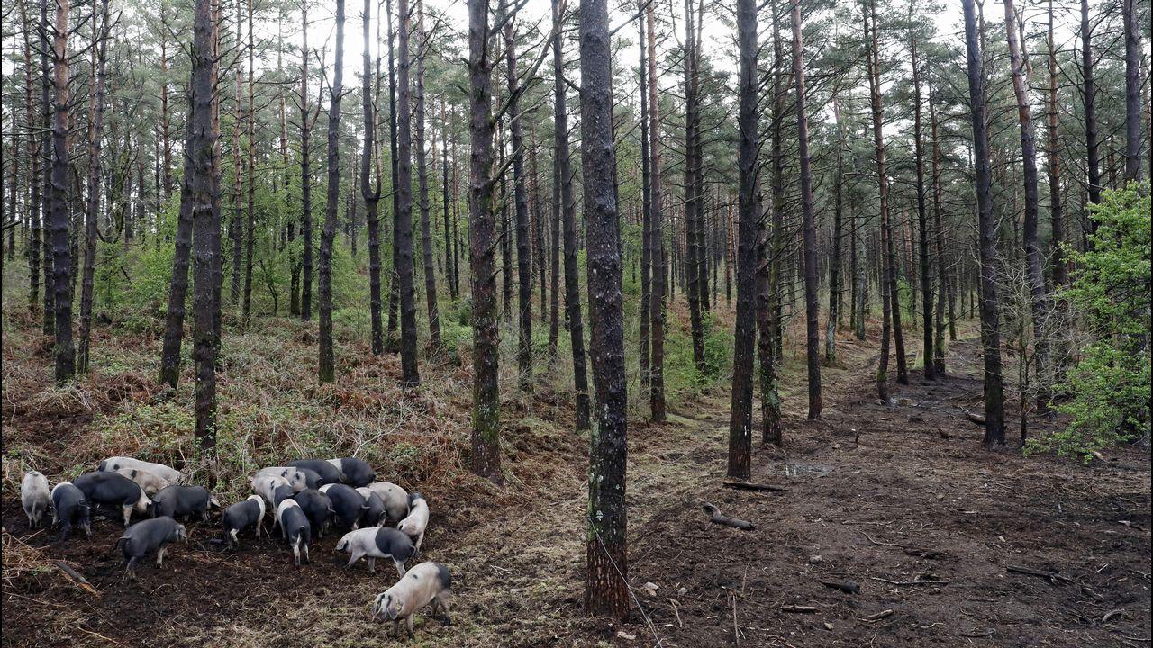 La capacidad desbrozadora del porco celta queda patente en esta imagen tomada en un monte de Friol.