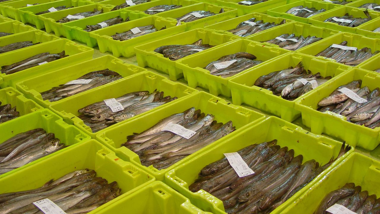 Desde lonjas como la de Celeiro, en una foto de archivo, y la de Burela salen a diario miles de kilos de merluza de Gran Sol fresca