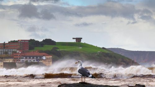 Una gaviota junto al oleaje de la playa de San Lorenzo, en Gijón