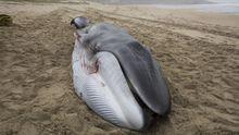 Nada se puede hacer por salvar a la ballena de Nemiña