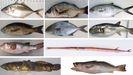 De izquierda a derecha y de arriba a abajo: el jurel dorado (Clupea Harengus), el roncador bastardo (Pomadasys incisus), palometa blanca (Trachinotus ovatus), el roncador (Parapristipoma octolineatum), el medregal negro (Seriola rivoliana), pez globo (Lagocephalus laevigatus), otro tipo de pez globo (Ephippion guttifer), la corneta colorada (Fistularia petimba), el pez sapo lusitano (Halobatrachus didactylus) y la corvinata real (Cynoscion regalis)