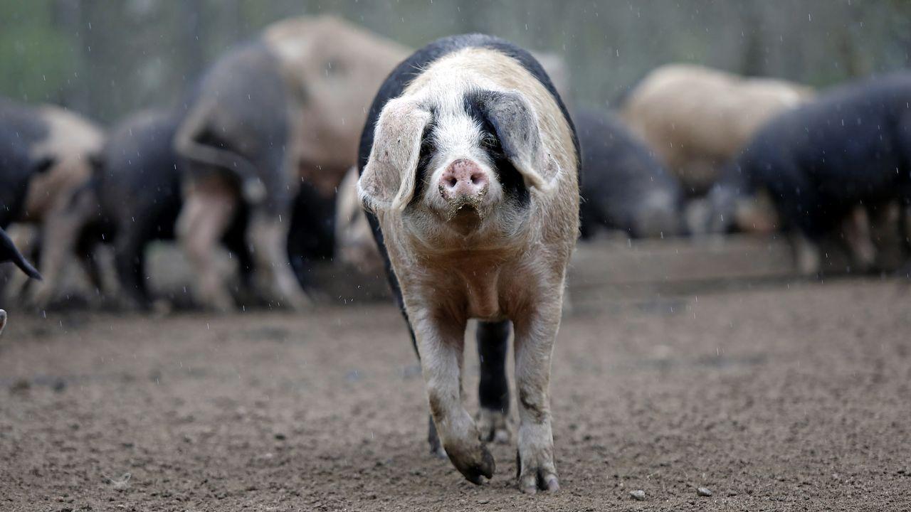 En Fraga do Coto, en Vilalba, los cebos viven en libertad en medio de castaños y robles.