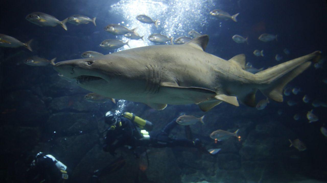 Gascón, el tiburón del acuario, salió de caza.