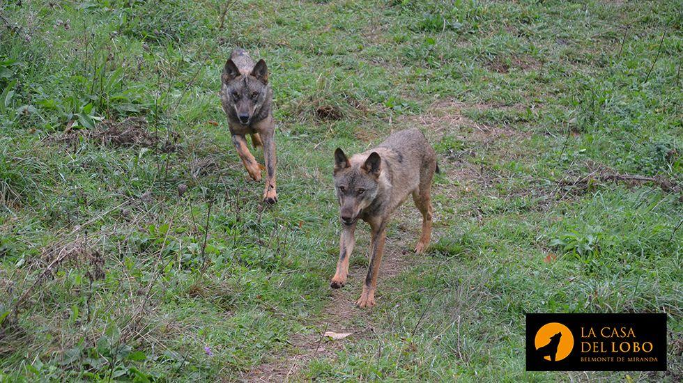 Miles de personas se manifiestan en defensa del lobo ibérico.Lobos en el recinto de Belmonte