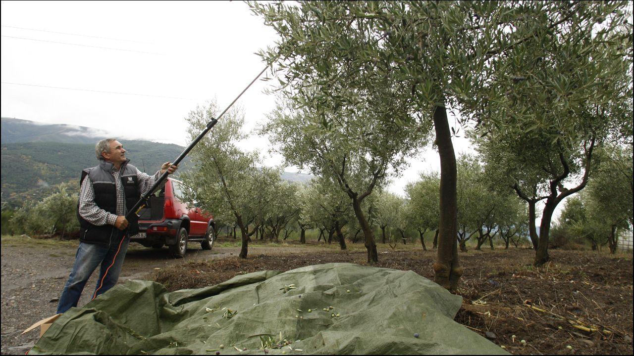 Comienza la cosecha de la aceituna.Una calle de Oviedo bajo la lluvia