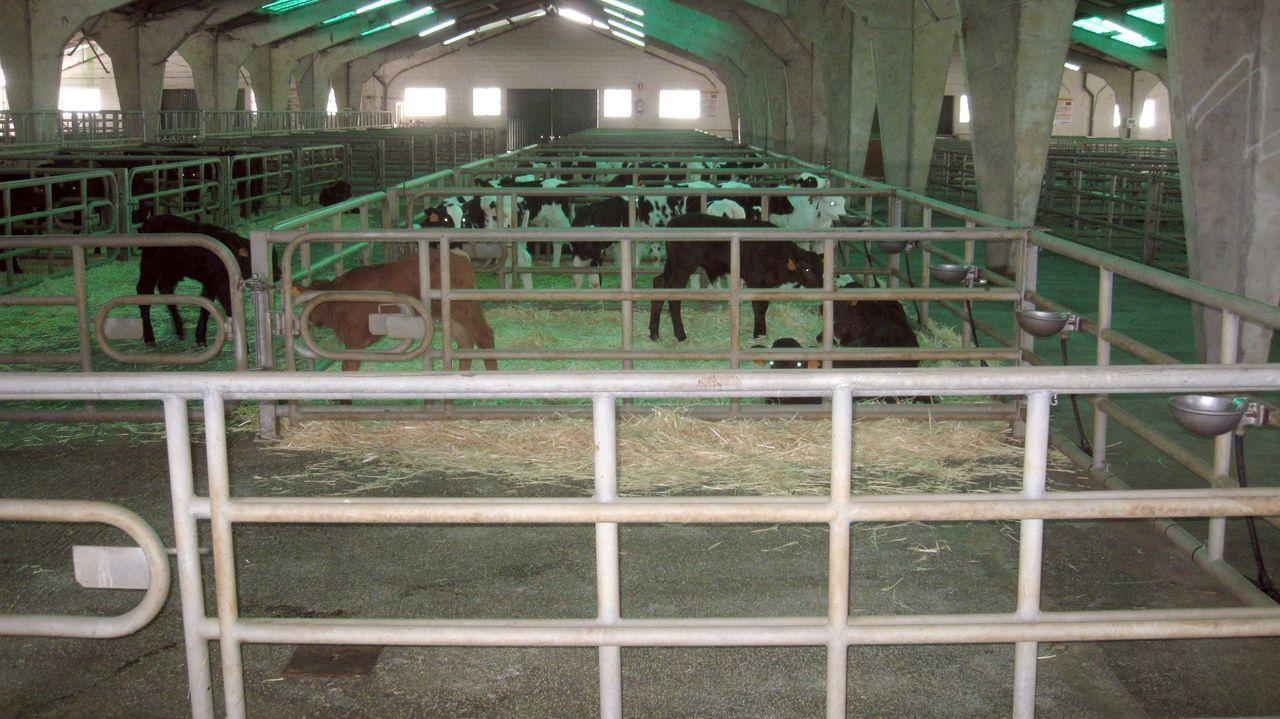 Reses en el mercado ganadero de Castro de Ribeiras de Lea, ayer