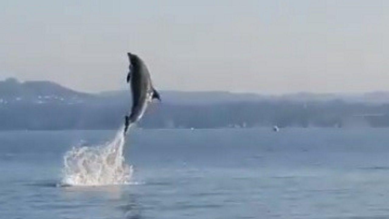 Delfines en el puerto de Sada, en A Coruña