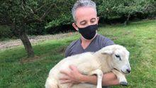 Una veintena de ovejas muertas en una finca de Llanes