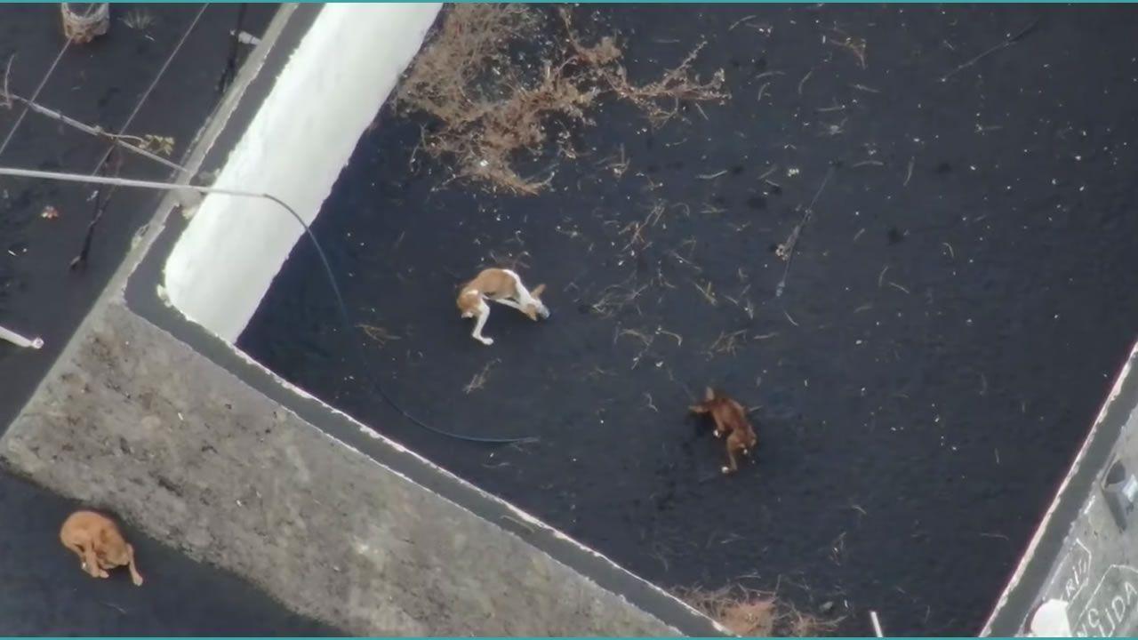Imagen de los perros cuando estaban atrapados en Todoque.