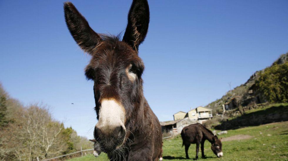 Los burros«antiincendios» de Allariz