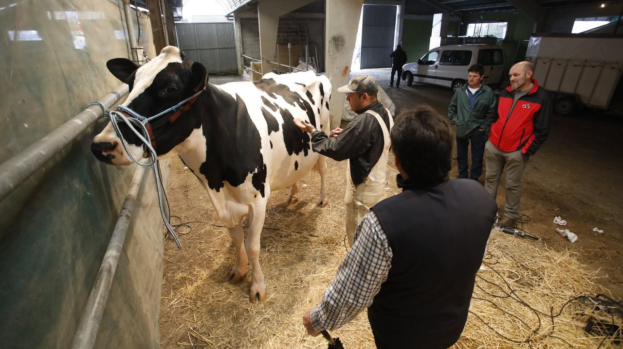 El ganado frisón protagoniza un concurso en Moexmu