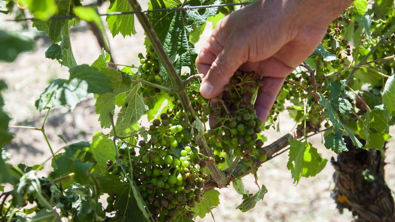 Daños en los racimos de los viñedos de la bodega Crego e Monaguillo