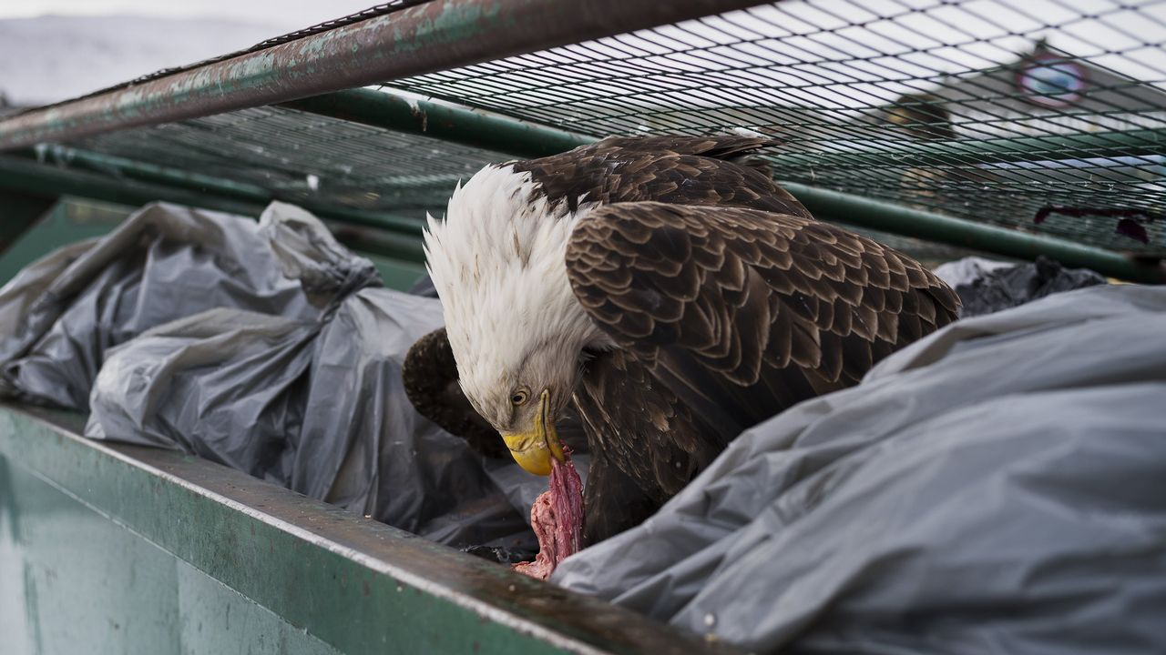 Fotografía cedida por la organización World Press Photo que muestra la imagen captada por el fotógrafo Corey Arnold, ganador del primer premio de la categoría «Nature - Singles». La foto muestra una águila calva mientras se deleita con restos de carne en los contenedores de basura de un supermercado en Dutch Harbor, Alaska, EE.UU., el 14 de febrero del 2017.