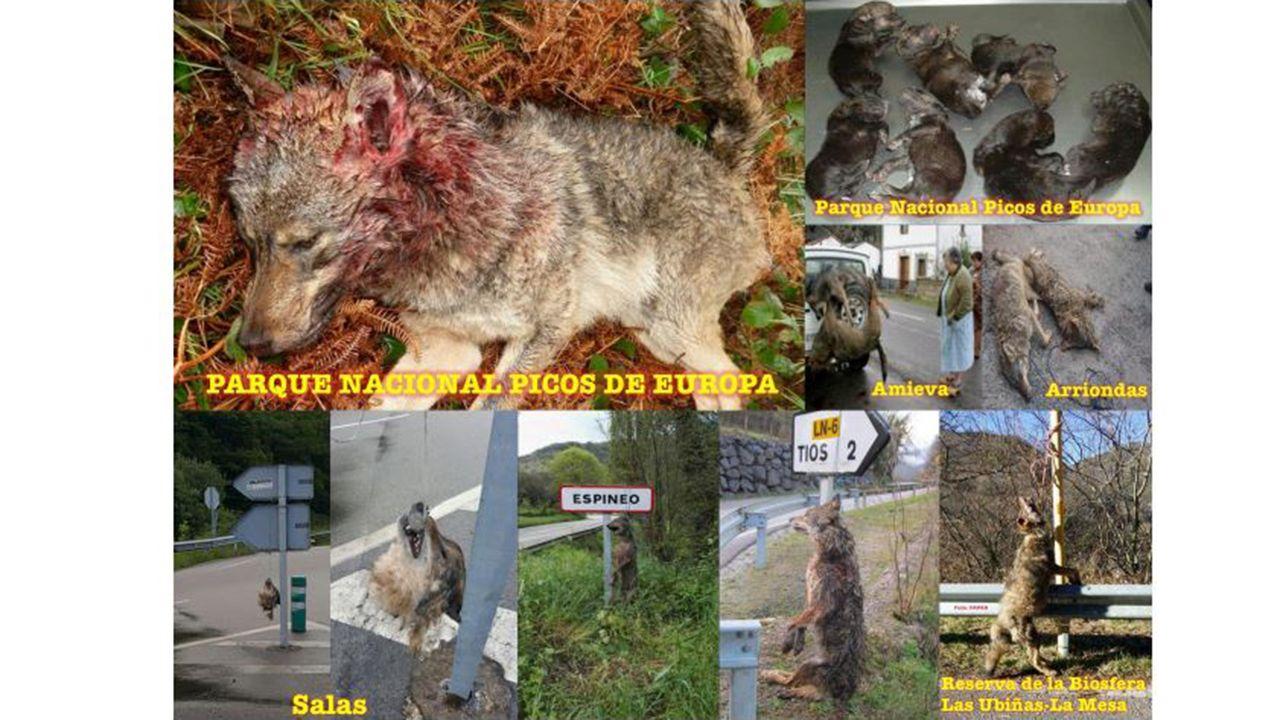 Lobos encontrados muertos en Asturias