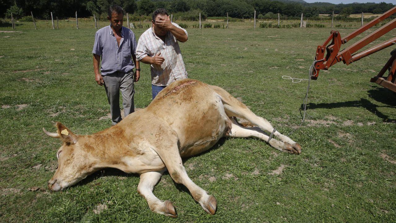 Ataque de perros a ganado en Vilar de Ulloa.A Pablo, casi sin pulso, le tuvieron que inyectar varias dosis de adrenalina