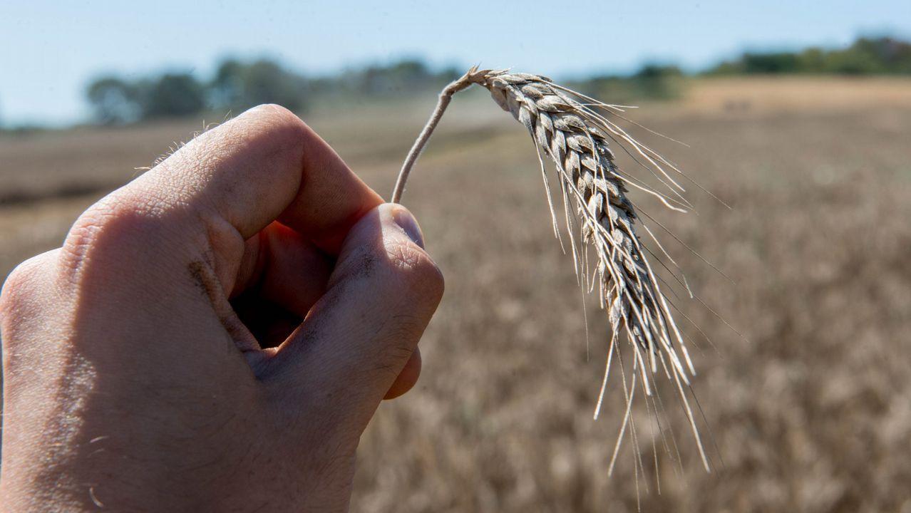 Los activistas exigen una respuesta política al cambio climático.Recolección de trigo en A Limia