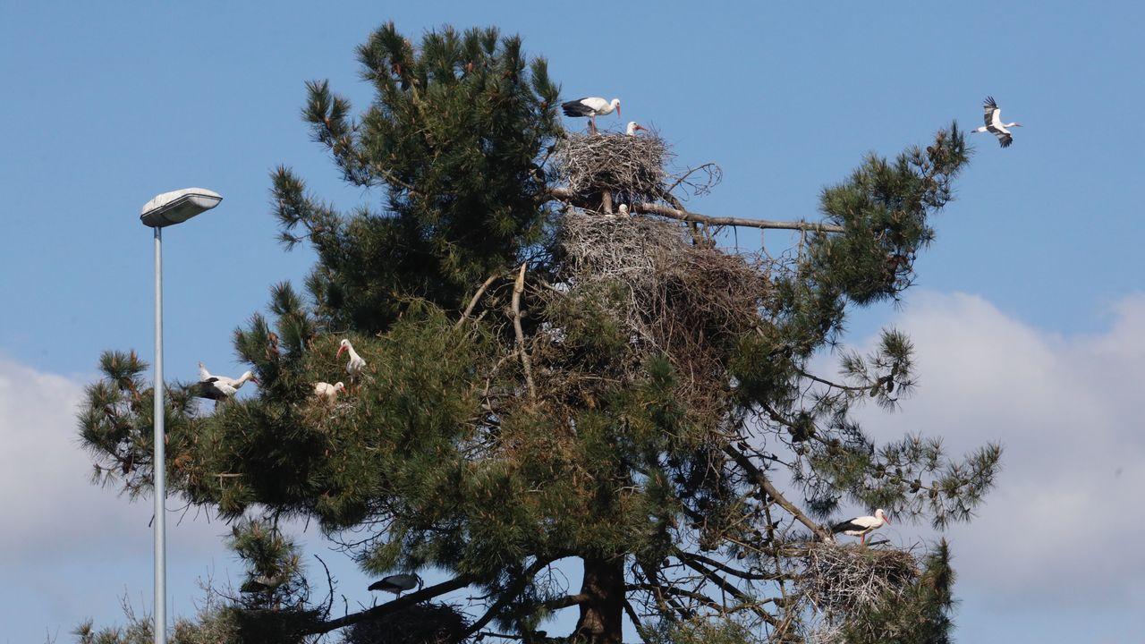 Varios nidos de cigüeñas están saturando un pino a las afueras de la ciudad de Lugo.