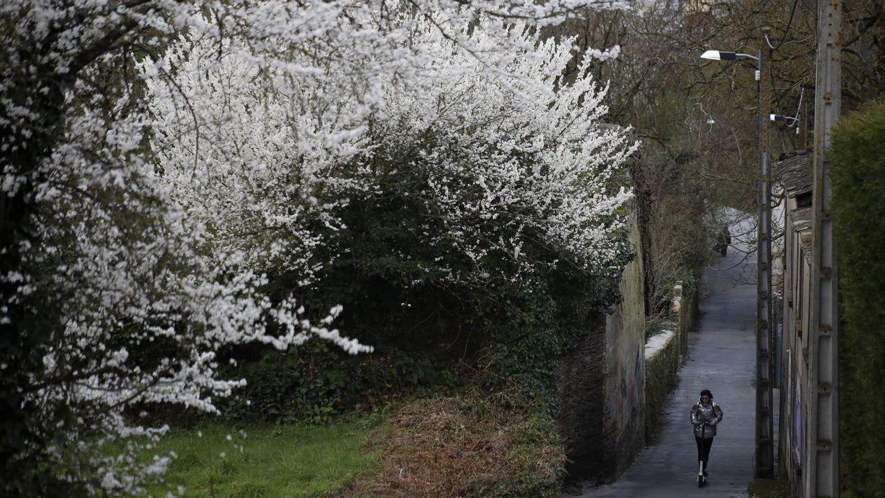 Cerezos blancos en el barrio de O Carme de Lugo