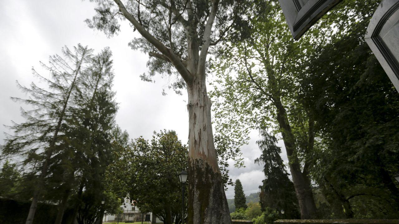 El primer eucalipto. El pazo tiene dos eucaliptos (imagen superior izquierda) de más de 40 metros. Se cree que pueden ser fruto de las primeras semillas que Fray Rosendo Salvado trajo de Australia a Galicia.